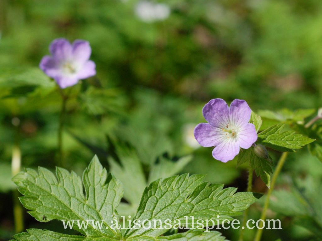 Spring Wildflowers By Alison's Allspice